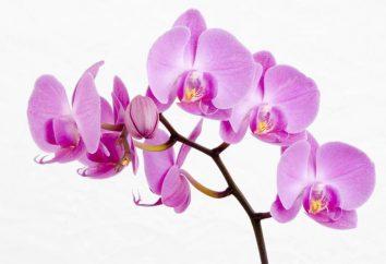 Les pots pour les orchidées, les plantes conditions de détention