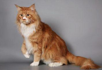 Maine Coon czerwony: wybór kociaka