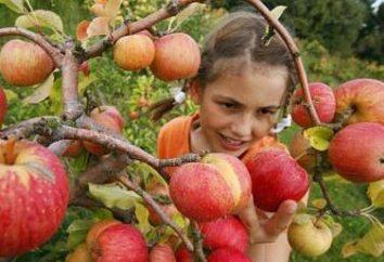 Come correttamente tagliare un albero di mele? Consigli per i giardinieri