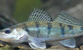 Bersh (pescado), donde es habitual, descripción, foto