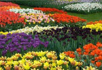 Tulipany – sadzenie i pielęgnacja w Syberii do kwiatów ogrodowych