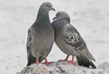 Por andando pombos acenar? A explicação em biologia