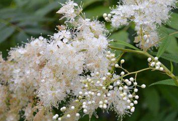 Spirea ryabinolistnaya: Pflanz- und Pflege