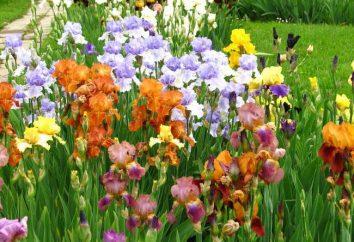 Malattie dell'iride. Iris: Cura in campo aperto