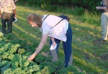 Opieki podczas jej uprawy kapusty