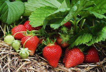 Est-il possible de mettre un certain nombre de différentes variétés de fraises? règles de plantation de fraises