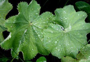 alchémille (Alchemilla vulgaris): utilisé dans la médecine populaire. Manchette: propriétés thérapeutiques et contre-indications