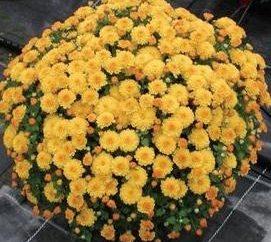 crisantemi Piantare in autunno: Consigli professionisti
