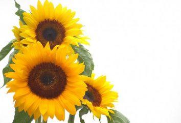 Kiedy sadzić słoneczniki w otwartym terenie. Jak sadzić nasiona słonecznika