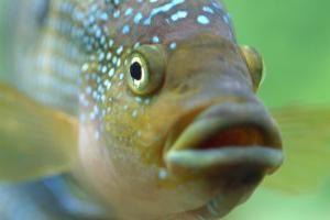 Est-ce qu'ils boivent du poisson ou pas? Que dit la science?