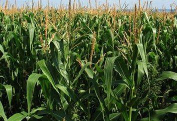 Anbau von Mais-Saatgut und Pflanzgut