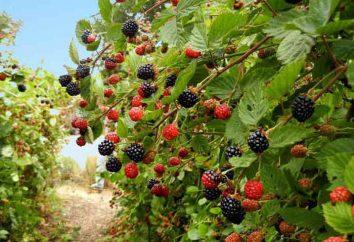 Sadzenia wiosną blackberry. Jeżyny w serwisie: uprawy, rozmnażania odmian