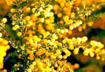 Najbardziej typowym przedstawicielem fauny Australii – Gold akacji lub mimozy