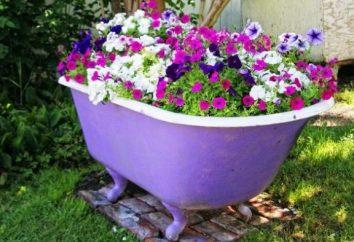Dicas jardineiros Ao plantar petúnia