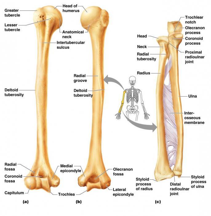 El esqueleto de una mano humana: la estructura. Esqueleto humano de ...
