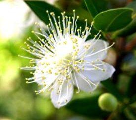 Flower myrtle – bálsamo, mirra, elixir da juventude