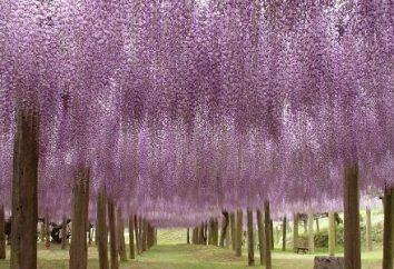 Wisteria fioritura – l'allevamento in giardino e in casa