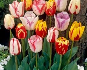 Come far crescere tulipani a casa: Consigli esperti giardinieri