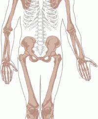 Scheletro dell'arto superiore. arto superiore funzione scheletrica