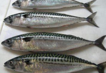 Maquereau – bonito famille des poissons