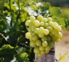 "winogrona winogrona 342 ""- jego funkcje i Kharkteristika"