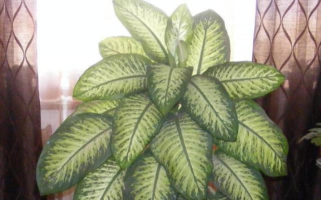 pourquoi dieffenbachia jaune? feuilles jaunes de dieffenbachia