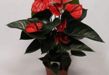 Exotische tropische Blumen: Anthurien. Pflege zu Hause