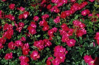Bellissimo parco rose: varietà per la regione (foto)