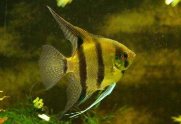 Wie das Weibchen vom Männchen Skalare in einem Aquarium zu unterscheiden?