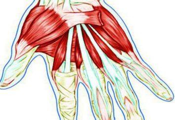 Los tendones de la mano: la estructura anatómica, la inflamación y el daño