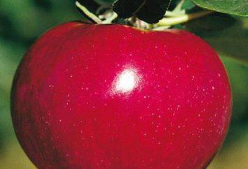 McIntosh (pomme): description, la plantation et les soins