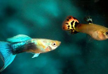 Zmienniaki plamiste: rozmnażania i opieki w domu. Akwarium zmienniaki plamiste ryb: Opis zawartości