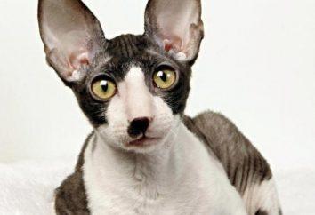 Le plus intelligent chat: cette race d'intellectuels