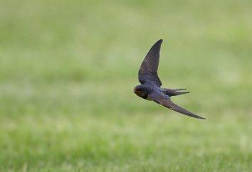 Dlaczego jaskółki latać nisko przed deszczem? Odpowiedź uziemiony w nauce