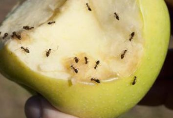 Hausgemachte Fallen für Ameisen. Wie wird man unerwünschte Gäste los zu werden?