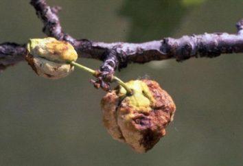 Prune: maladies et parasites. Comment les traiter?