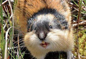 Lemming: descrizione dello stile di vita. Da dove viene il lemming in natura?