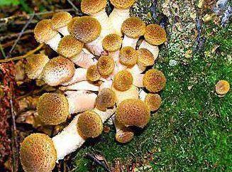 Come far crescere i funghi al cottage? La tecnologia di crescere micelio di miele agarico