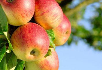 Bashkir Beauty (maçã) descrição variedades e opiniões jardineiros