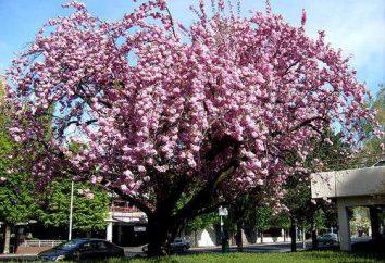 fiori di pruno, ma non dare i suoi frutti – che cosa fare? Elaborazione di prugne da parassiti e malattie