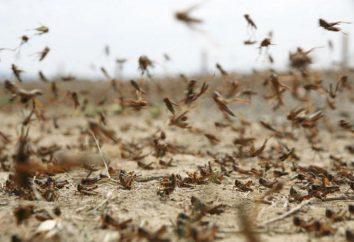 Gafanhotos (gafanhotos) – o que é? Inscrição insetos