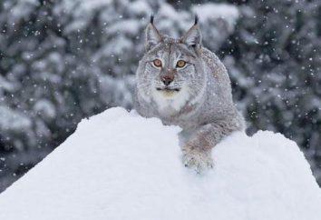Siberian lynx: opis, zdjęcia, siedlisko, hodowla
