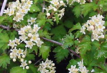Stefanandra nadrezannolistnaya: descrizione e le caratteristiche di coltivazione