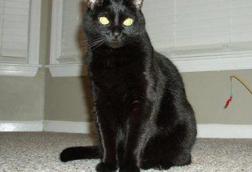 Interpretación de los sueños: soñar con lo que un gato negro