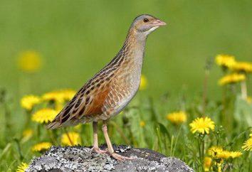 codornizão Bird (codornizão): descrição, foto