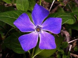 Pervenche – Fleur conservé leurs propriétés magiques aux temps païens