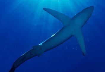 Shark – si tratta di un pesce o un mammifero? Nome di squali. Katran – foto