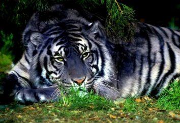 Black Tiger – un segno dell'elemento acqua