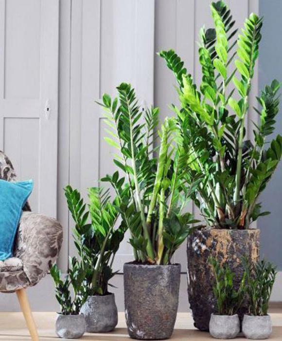 Fleur zamioculcas toxique ou non les soins domicile for Zamioculcas exterieur