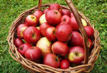 Przy zbieraniu jabłek w pamięci? W trakcie zbierania letnich i zimowych odmian